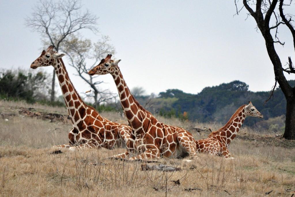N. Laryngeus Recurrens Giraffe Congo telt nog maar 38...
