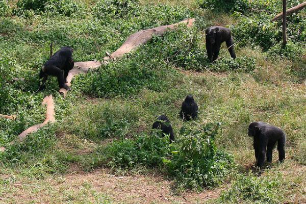 Chimpansee in oeganda met opeten bedreigd mo magazine - Centraal eiland om te eten ...