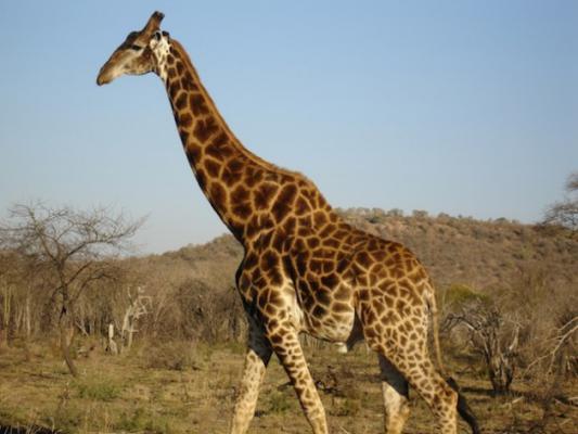 Een Gek Dier De Giraf: Zuid-Afrika Lokt Meer Toeristen Uit Andere Groeilanden