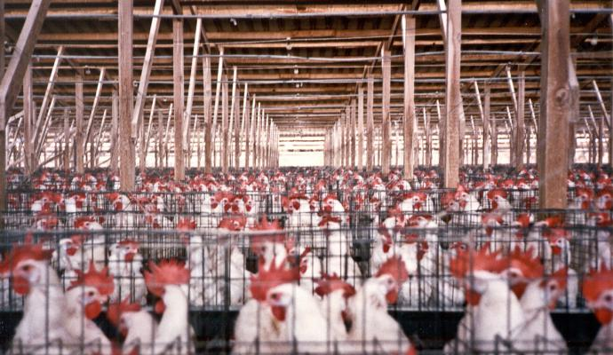 Farm Sanctuary (CC BY-NC-ND 2.0)